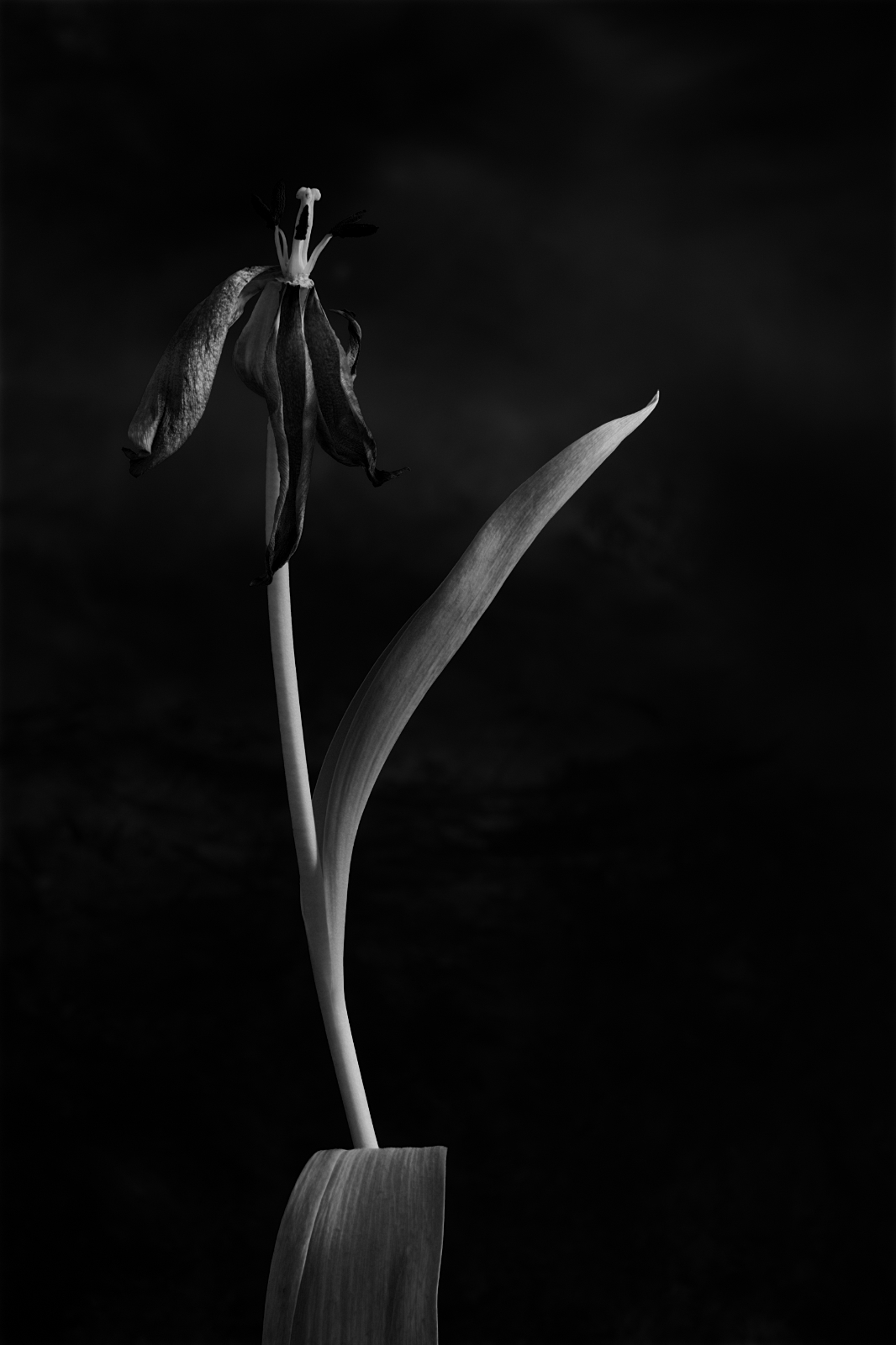 Crowened-Tulip-2-Black-And-White-featured