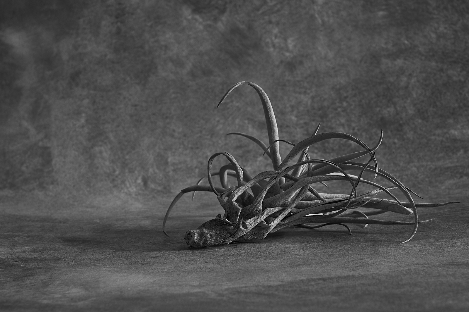 air-plant-Untitled Session0049